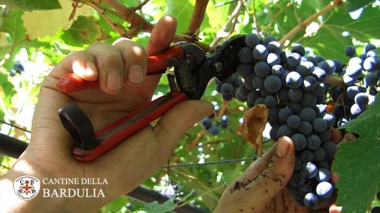 Vendemmia vini di Puglia